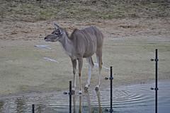 2016.02.19.084 PARIS - Zoo  - Grand koudou (alainmichot93) Tags: paris france seine zoo ledefrance antilope mammifre 2016 zoodevincennes parczoologiquedeparis grandkoudou