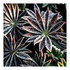Frozen leaves / Feuilles geles (objet introuvable) Tags: light macro nature fleurs canon garden frozen lumire jardin lupins feuilles gele justleaves macromondays canon70d