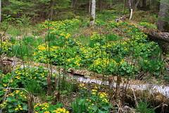 034 Marsh Marigolds (jgagnon63@yahoo.com) Tags: up forest spring woods may upperpeninsula uppermichigan hiawathanationalforest deltacountymi haymeadowcreektrail canonsl1