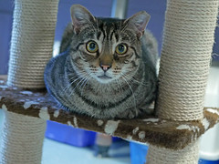 Jackson (AbbyB.) Tags: rescue pet cat newjersey feline shelter adopt adoptable shelterpet petphotography easthanovernj mtpleasantanimalshelter