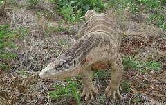 Spencer's Monitor (Varanus spenceri) (shaneblackfnq) Tags: reptile nt australia monitor lizard outback spencers plains northern arid goanna territory barkly blacksoil varanus tableland shaneblack spenceri