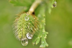 ~~La goutte au nez !!!~~ (Jolisa) Tags: macro coquelicot gouttelettes pluie eau juin2016 vert green fabuleuse