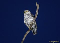 Barking Owl (Ninox  connivens) (Greg Miles) Tags: barkingowl ninoxconnivens