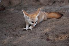 fennec fox (floridapfe) Tags: animal zoo nikon korea fox everland fennecfox fenne
