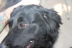 El Negro (Met-Met tirfoto!) Tags: perros 100