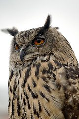 Photo of Eagle Owl