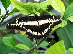 butterfly garden-11 (Quetzalcoatl002) Tags: amsterdam animals butterfly zoo butterflies tierpark artis artiszoo butterflygarden vlindertuin artisdierentuin