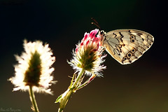Lost love (AimishBoy) Tags: light sun flower love backlight canon butterfly couple 100mm interracial melanargia titea macrolife   palestinensis