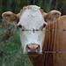 Hello, Cow