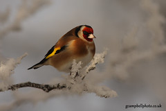 Goldfinch in the Snow (more below) (gcampbellphoto) Tags: winter snow bird canon garden goldfinch finch northernireland ballycastle cardueliscarduelis irishwildlife