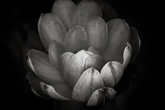 How Did You Know I Needed You So Badly (Thomas Hawk) Tags: bw usa flower unitedstates 10 unitedstatesofamerica stlouis waterlilies missouri botanicalgarden waterlilly missouribotanicalgarden nymphaeaceae shawsgarden fav10 natureshand