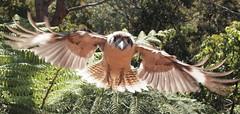 Coming at You (robbiesydney) Tags: bird nature wildlife kookaburra birdwatcher
