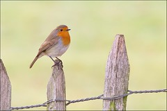 Robin (Simon Wantling - Nature Photography) Tags: nature birds canon photography wildlife british 100400mm