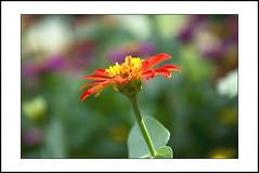 close-up #18 [explored] (e.nhan) Tags: life pink light red flower green art nature yellow closeup daisies colorful colours shadows dof bokeh daisy backlighting enhan