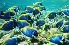 Parade of Blue Surgeon Fish ~ ii (m o d e) Tags: blue light fish lines pattern underwater snorkeling maldives powderblue surgeon surgeonfish