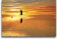 volando su onde dorate!! (erman_53fotoclik) Tags: tramonto volo acqua controluce uccello riflesso mygearandme flickrstruereflection1 flickrstruereflection2 flickrstruereflection3 flickrstruereflection4 flickrstruereflection5 flickrstruereflection6 flickrstruereflection7 flickrstruereflectionexcellence