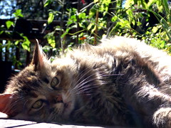 Outdoor Cat Laying In The Sun