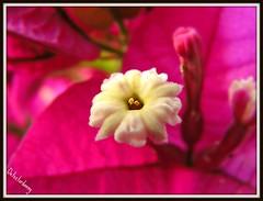 Up Close....and Personal. (D@nnyR) Tags: park pink white plant flower garden spain bougainvillea petal picnik doublefantasy catchycolourspink naturemasterclass lacalademijas