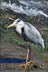 BEAUTIFUL HERON (Shaun's Nature and Wildlife Images....) Tags: herons shaund