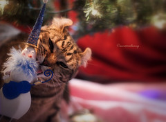 On the Naughty list.... (montreal_bunny) Tags: christmas ariel cat canon naughty fluffy ornament redwhiteandblue ef50mmf18ii t3i odc highlandlynx ourdailychallenge