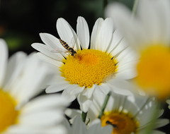 High summer (jenniemay2011) Tags: true insects daisy flies hoverfly anthemis pollinator beefriendly d3000 jenniemay