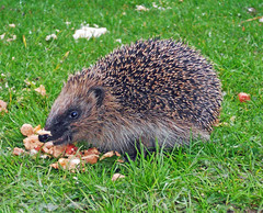 Hedgehog scavenging (Dunc(an't stand this new layout!)) Tags: winter garden derbyshire hedgehog scavenging southnormanton erinaceinae