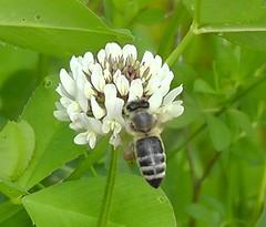 Honigbiene, NGIDn1323795849 (naturgucker.de) Tags: apismellifera westlichehonigbiene sterreich niedersterreich naturguckerde sixmhlebeiwaidhofenanderthaya cmayakranner ngidn1323795849