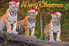 The tree tiger cubs