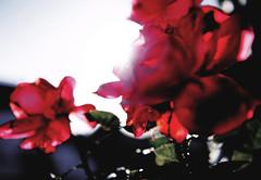 In Memoriam. (Profond Dément (pas trop là)) Tags: fleur rouge bretagne hommage bénodet