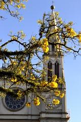 A praça e os ipês (RadamesM) Tags: church paraná square cathedral flor catedral curitiba igreja praça praçatiradentes
