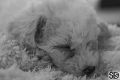 Caesar Sleeping. (S D S Photography) Tags: christmas 50mm fuji bichon frise 18 2011 s5pro