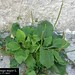 "Plantago major L., Plantaginaceae • <a style=""font-size:0.8em;"" href=""http://www.flickr.com/photos/62152544@N00/6596765939/"" target=""_blank"">View on Flickr</a>"