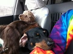 Heading Home (Tobyotter) Tags: dog chien pet frank hound canine dachshund perro hund link wienerdog dackel teckel k9 jimmydean sleepyheads doxie sausagedog aplaceforportraits pointyfaceddog