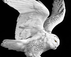 Snowy Owl (Denise Trocio (D Trocio Photography)) Tags: bw bird eye nature canon wings wildlife ngc feathers raptor 7d owl nik 100400mm avian snowyowl strigidae minimalcolor lakemichiganharbor niksilverefexpro winthropharborillinois