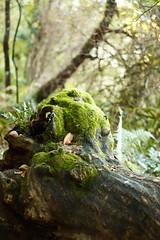 CAMINO DE SANTIAGO 2-2 (bacasr) Tags: españa naturaleza musgo spain galicia viajes bosque tronco cha caminodesantiago carballeira paisajesrurales