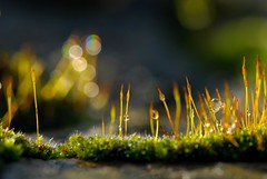 and the other moss shot! (devonteg) Tags: macro nikon bokeh january raindrops handheld 2012 seedheads mosses d80 nikkor105mmf28gvrmicro naturesgreenpeace