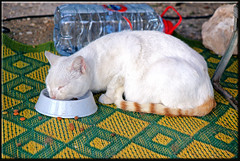 my guest - a happy cat (mhobl) Tags: blue red food green yellow cat katze katzen essaouira streetcat weis