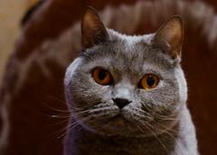 Sharp Eye's of a Beautiful Cat (vintage.strat) Tags: cat eyes sony 8 sharp katze augen alpha 580 scharfe