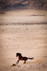 Wildhorses of Namibian Desert | 2