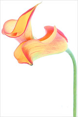 Calla Lily / Calla Lilies - IMG_1199-1000 (Bahman Farzad) Tags: red orange white lily calla background lilies callalily mimamorflowers