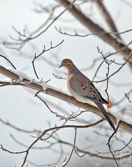 Mourning Dove (Zenaida macroura) (Argent Imaging) Tags: ny newyork nikon mourningdove zenaidamacroura d300 nikond300 argentimaging