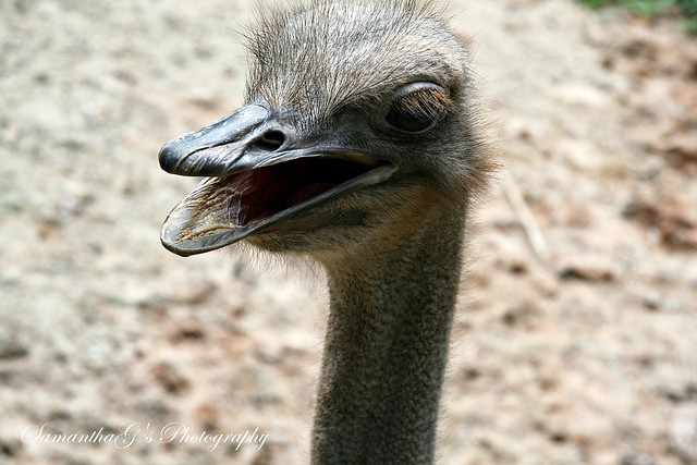 The female Ostrich
