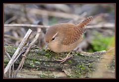 Wren (Full Moon Images) Tags: bird nature woodland wildlife reserve wren fen cambridgeshire drayton rspb fendrayton