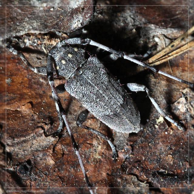 Timberman Beetle (Acanthocinus aedilis)♂.