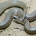 Rough Earth Snake