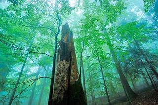 pristine beech-fir forest