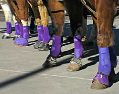 Pretty in Purple (Colorado Sands) Tags: horses horse usa feet america caballo cheval foot us colorado purple unitedstates parades denver parade lila american western cavalos hoof protection pferde cavalli cavallo equestrian kuda americanwest equine 2012 chevaux paard paarden  hooves coverings nationalwestern atlar sandraleidholdt stockshowparade leidholdt
