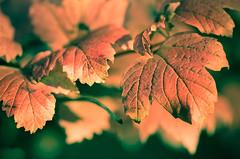 the last days - les derniers jours (jibibi) Tags: autumn france macro nature leaves last automne rouge leaf nikon flickr days feuille dernier d7000