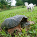 Common Snapping Turtle Being Harassed by Dogs
