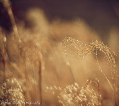 Golden bokeh (tristynangel) Tags: sunset sunlight grass canon garden outside outdoors 50mm golden texas bokeh country canonrebel 18 homesweethome goldenhour bigcountry ilovebokeh abilenetexas canonrebelxs